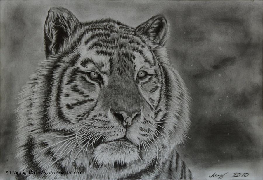 Tiger by dimasbka