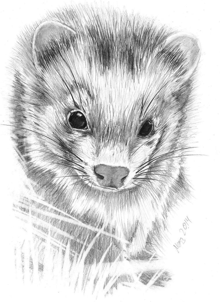 Ferret by dimasbka