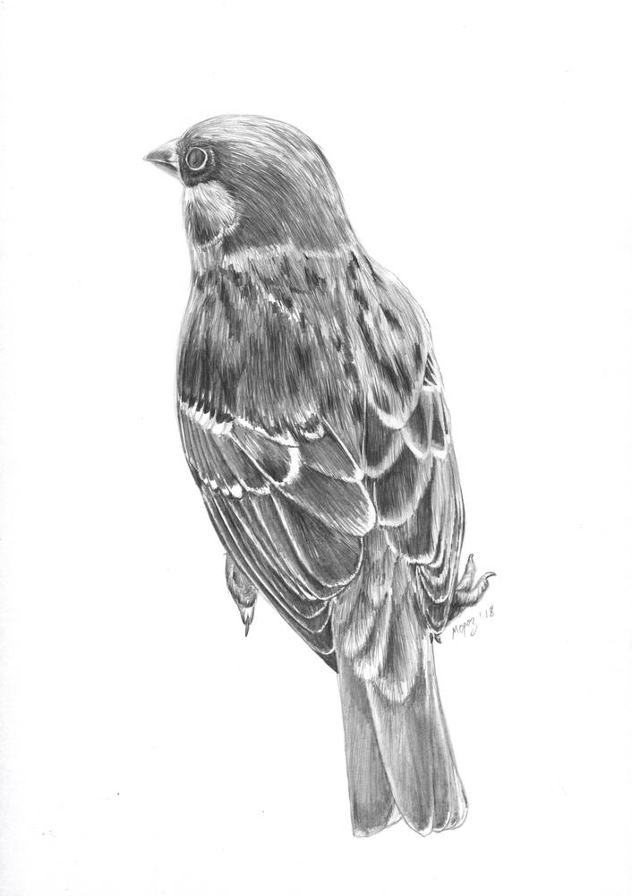 sparrow by dimasbka