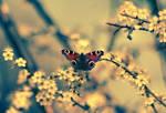 Creamy Butterfly