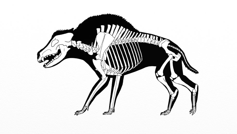 Daeodon Skeleton