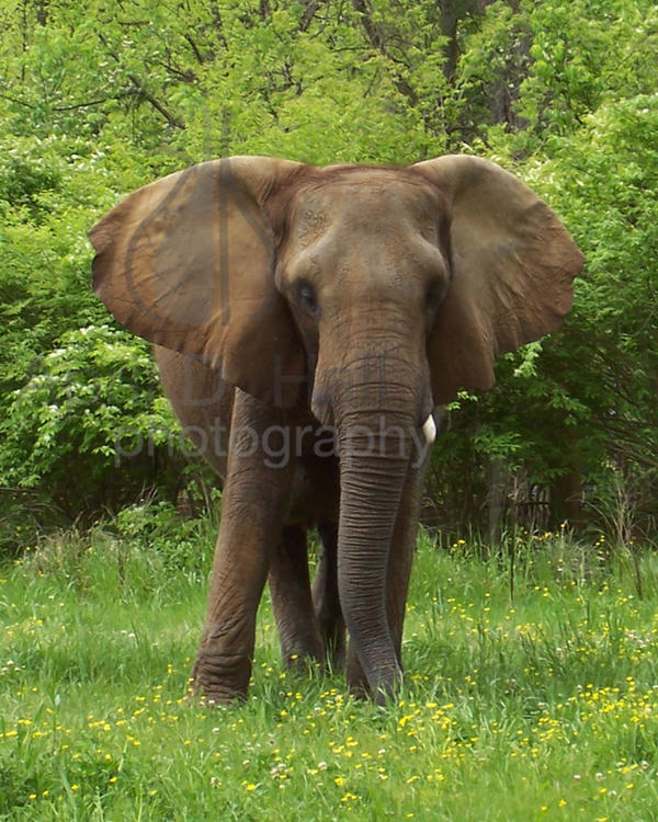African Elephant Adaptations