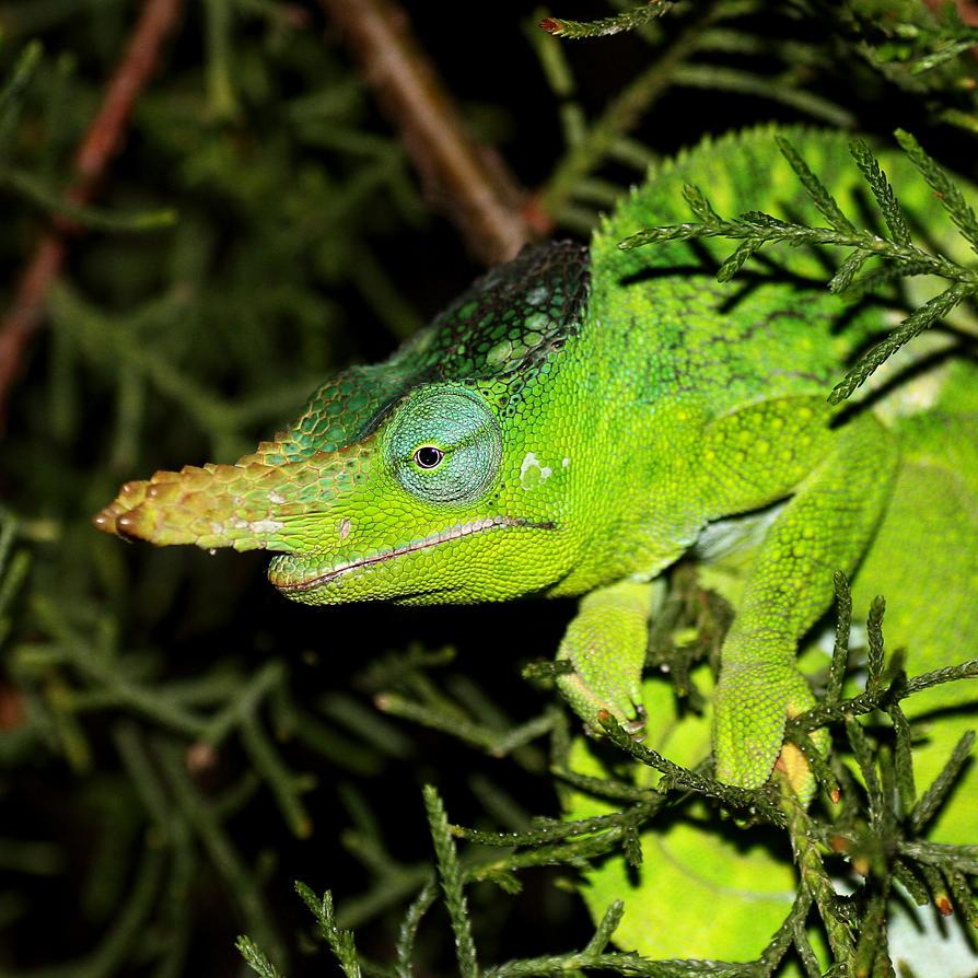 Chameleon Horns: Usambara Tow-horned Chameleon By Nightwibe On DeviantART