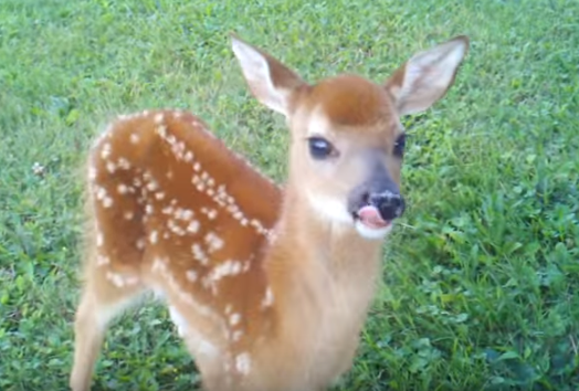 Little-deer03 tongue by HamburdeerPLZ