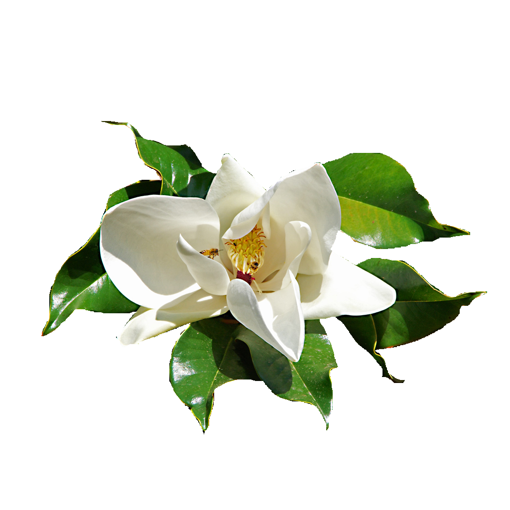 Ficus Elastica isolated flower png by maczopikczo on ...  Ficus Elastica ...