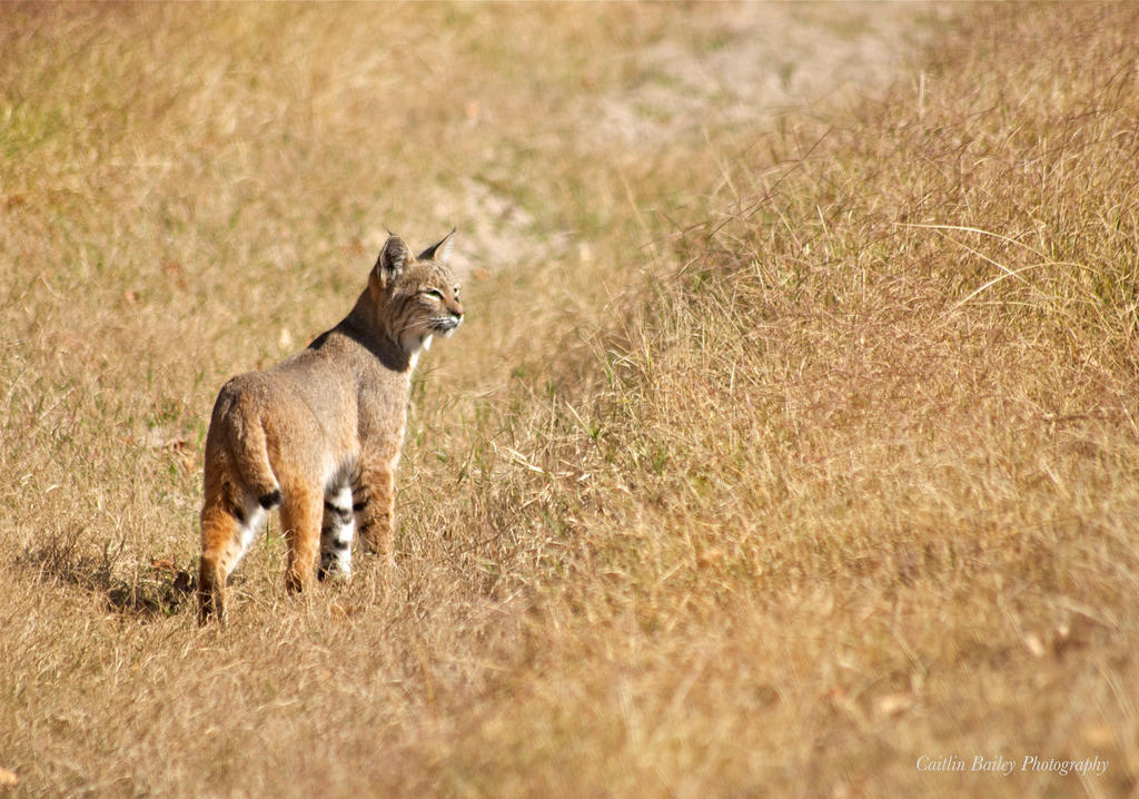 Bobcat by SilverPadfoot