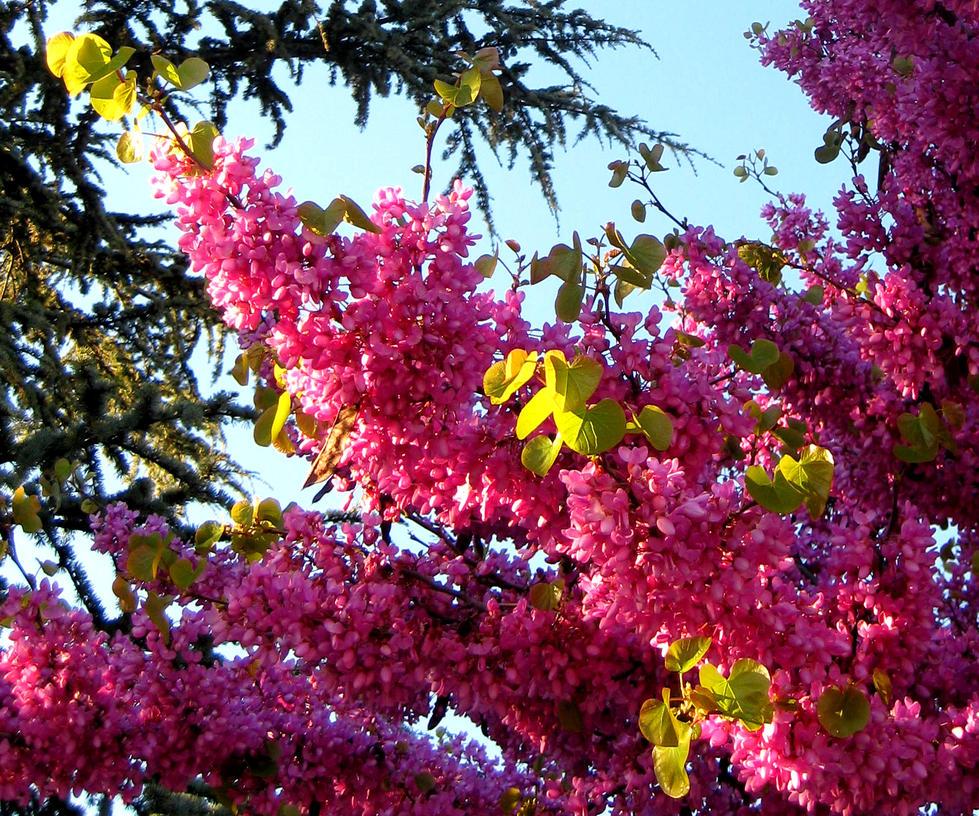 Arbol vestido de flores rosas by susanagh on deviantart - Arbol de rosas ...