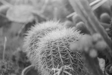 Cactus in monochrome