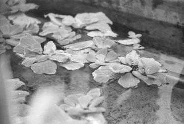 BW Lilies