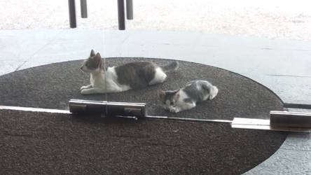 Spinx cats
