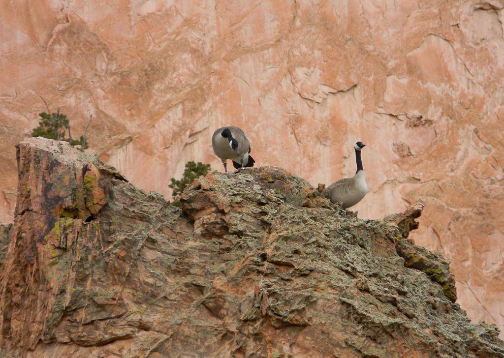 Geese on the Rocks by GradyArt