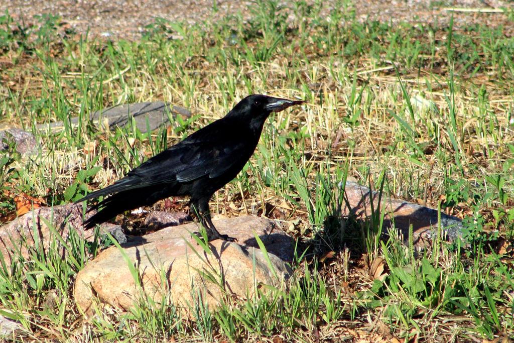 Raven Posed by GradyArt