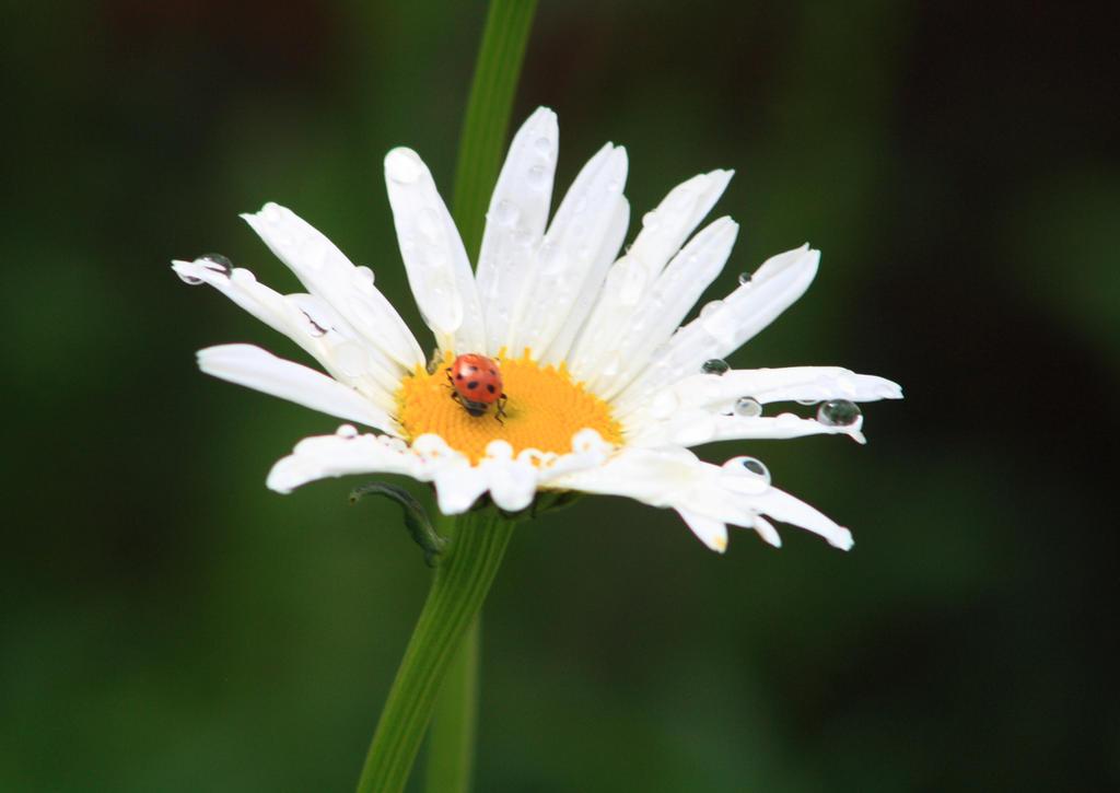 Bejeweled Daisy by GradyArt