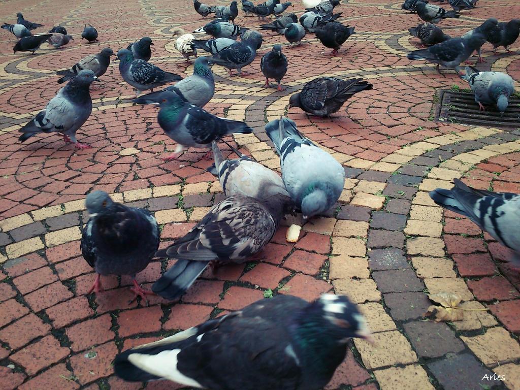 Pigeons by AriesWildChild