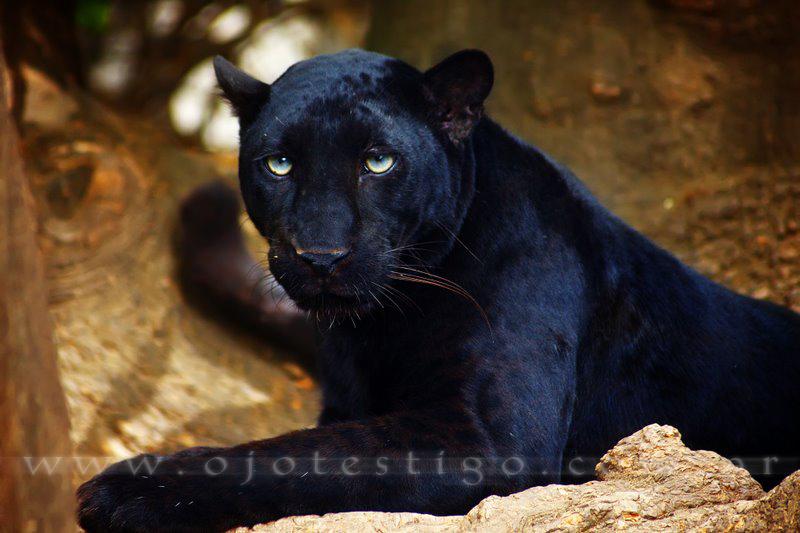 Pantera Negra: Pantera Negra By Udharpa On DeviantArt