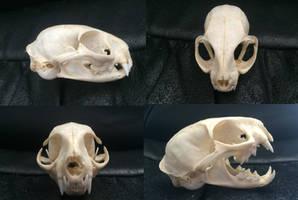 Asian Leopard cat skull by Lot1rthylacine