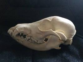 Juvenile dog skull SOLD by Lot1rthylacine