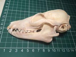 Bat-eared fox skull by Lot1rthylacine