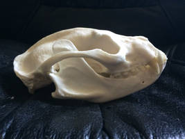 Binturong skull by Lot1rthylacine