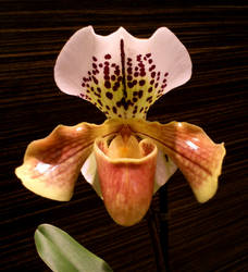 Orchid Portrait by Siiw