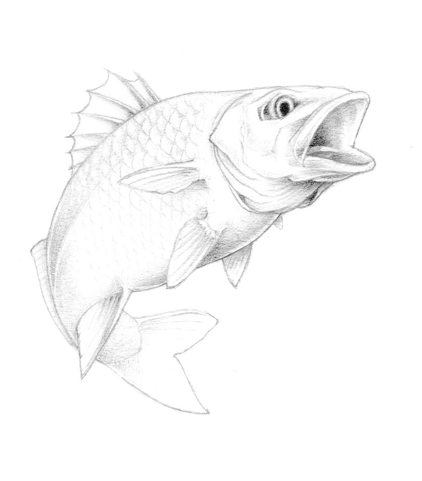 Bass fish drawing in pencil for Fish drawing pictures