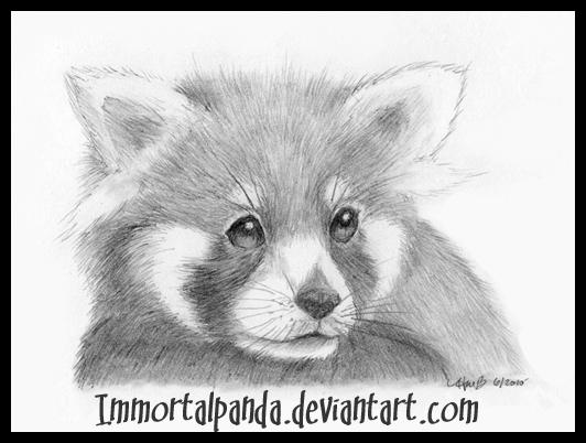 Red Panda in pencil by ImmortalPandaPanda Drawing In Pencil