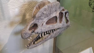 Dilophosaurus Skull at AMNH