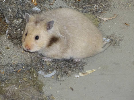 Unknown rodent