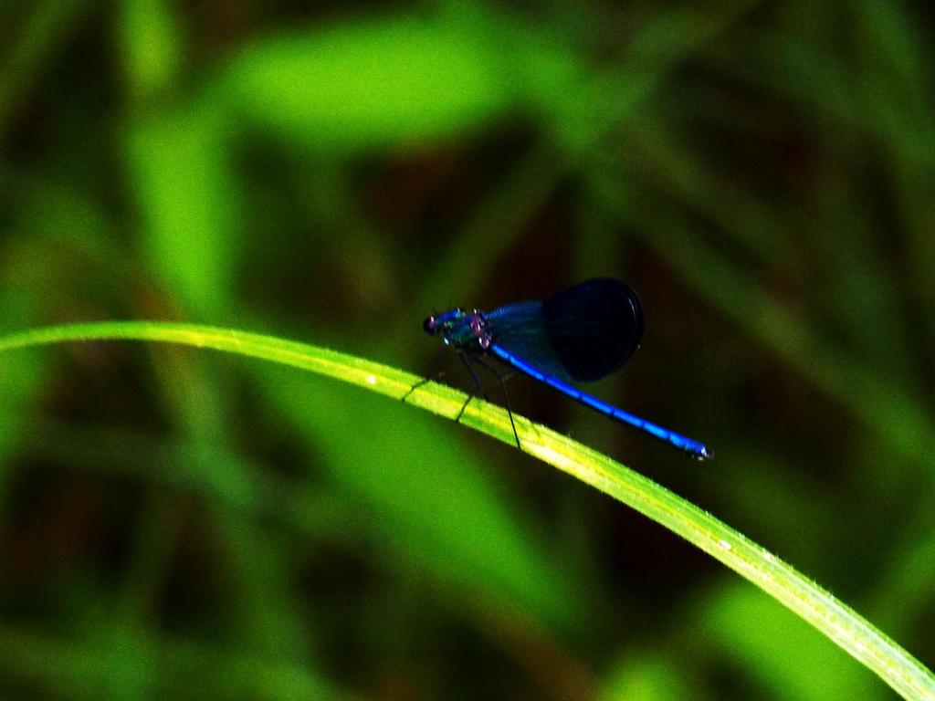 Dragonfly by darina96