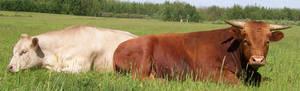 Cattle Banner - Landscape