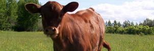 Cattle Banner - Heifer Calf