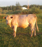 Spirit Cow at Golden Hour