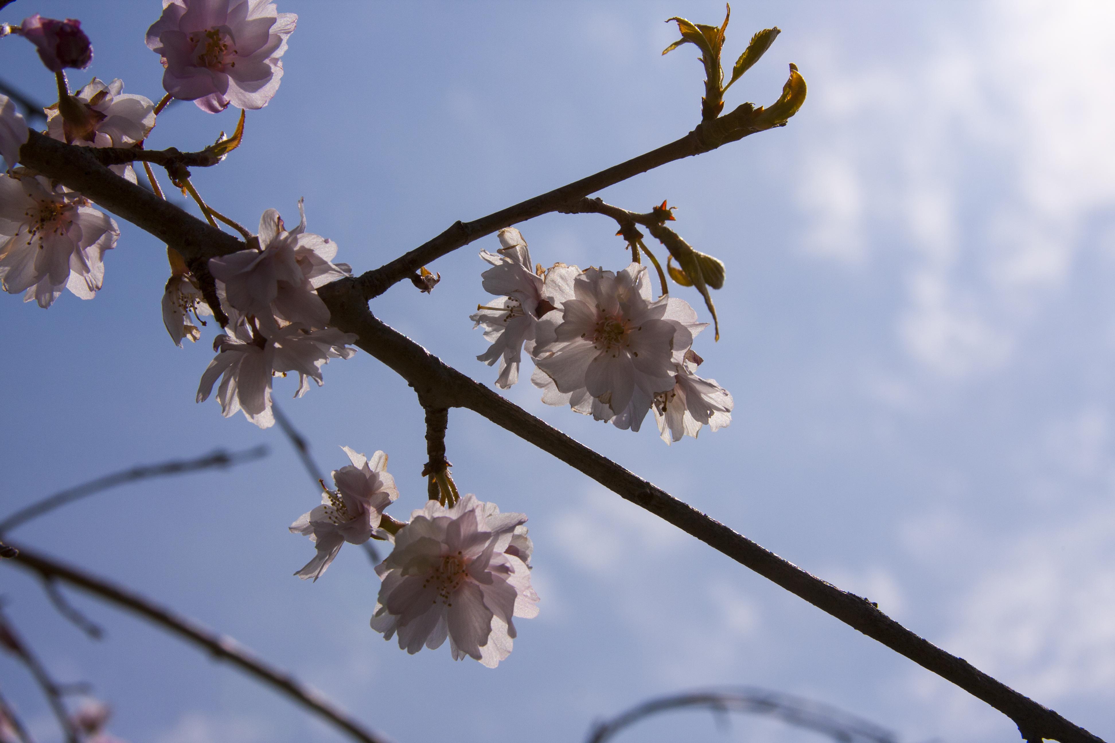 Yoshino Cherry by briant1234
