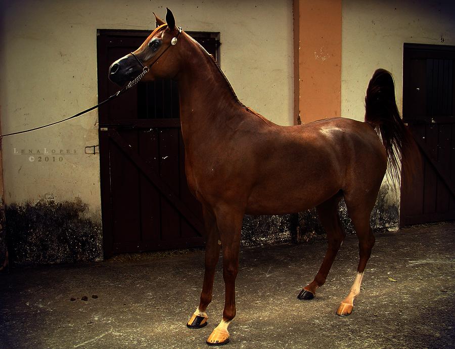arabian horse by LyraWhite