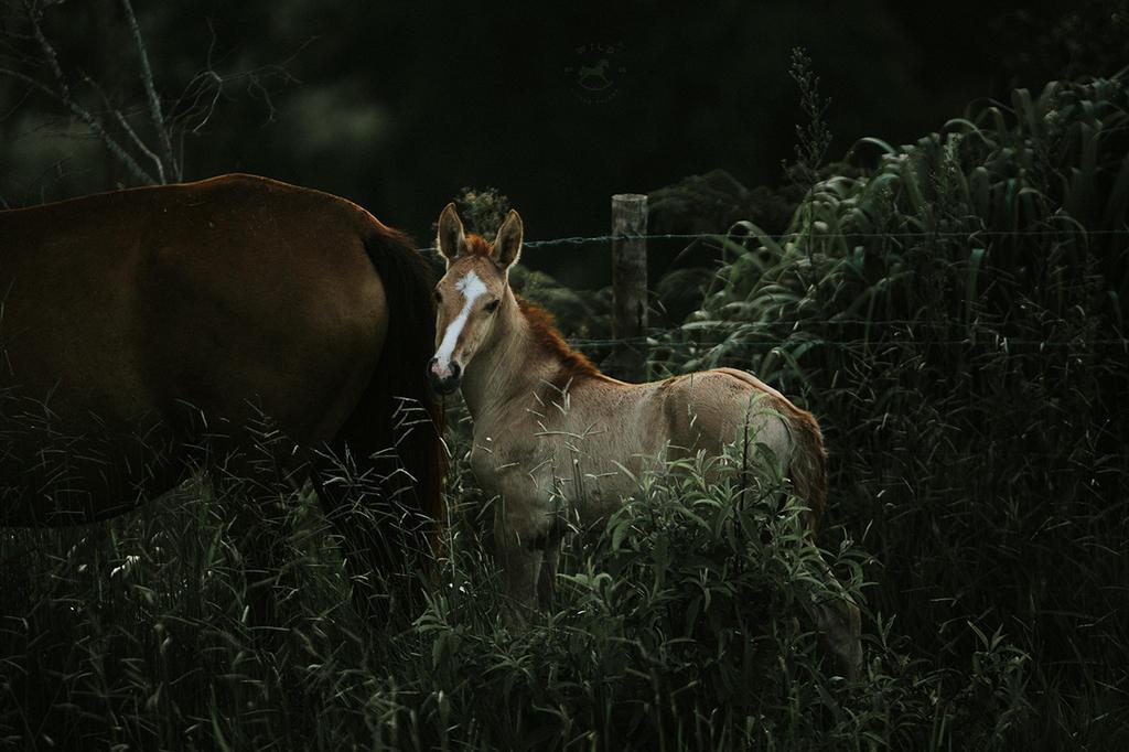 Campolina Foal  by LyraWhite