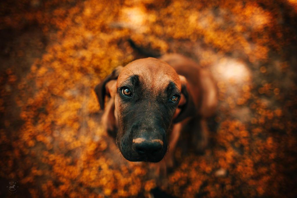 Autumn Puppy by LyraWhite
