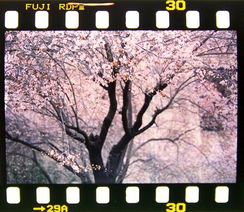 Blossom by aniferlu