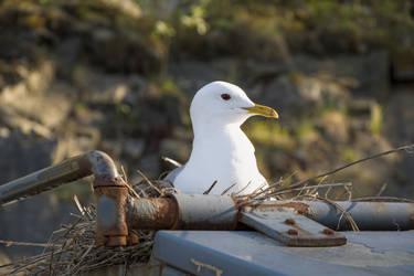 Seagull by Dirhael