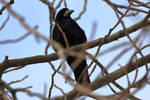 Rook waiting for spring