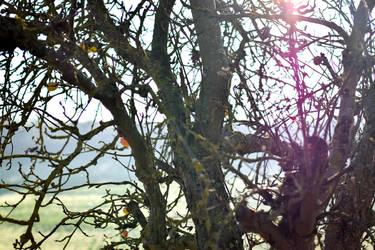 Sleeping apple tree