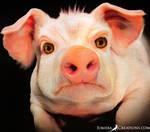 Angry Pig02