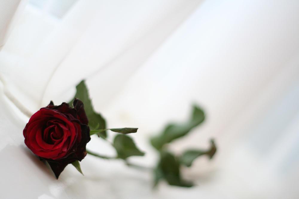 Larafairie-stock: Rose by larafairie-stock