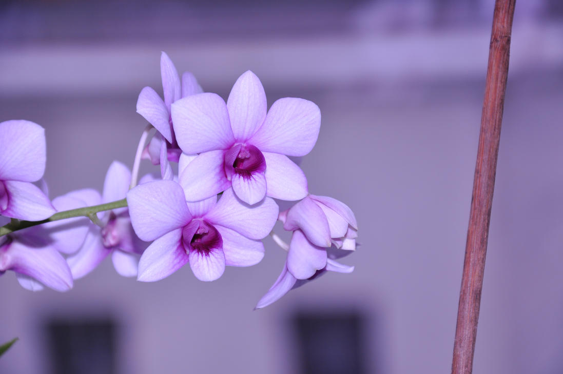 VIOLET - Page 3 Orchid_by_kolazei-d4ae4ie