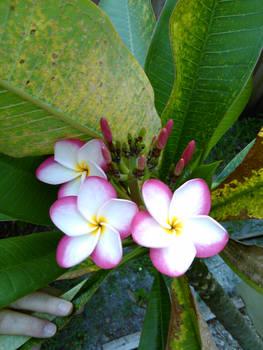 Tricolor Plumeria