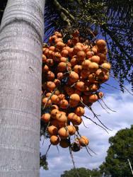 Foxtail  Palm Tree Berries