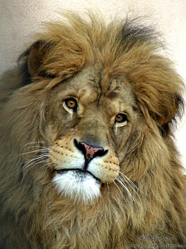 Lion 2 by Bogdan-Zop