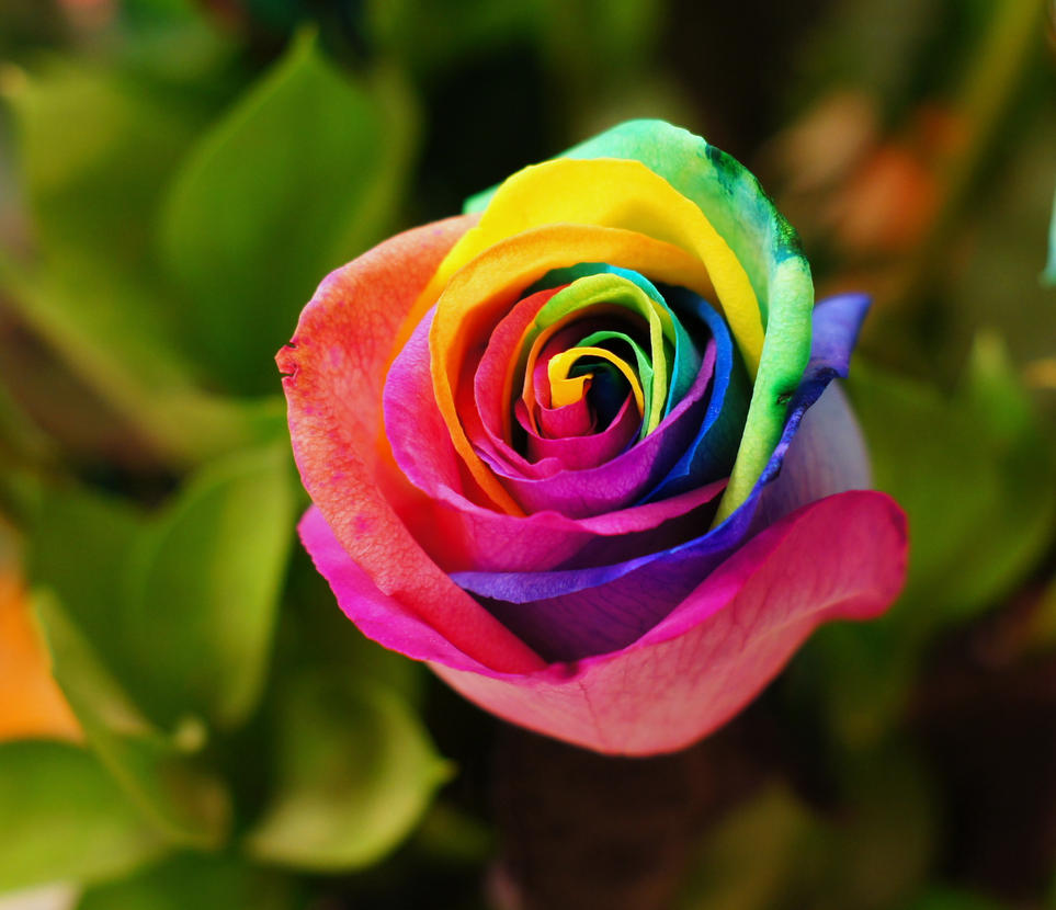 rainbow rose by bluebob951 on deviantart