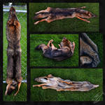Melanistic Eastern Coyote