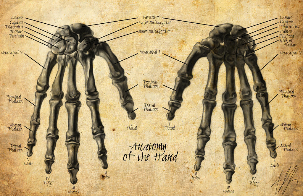 Anatomy of the hand #1 by AJRothert on DeviantArt