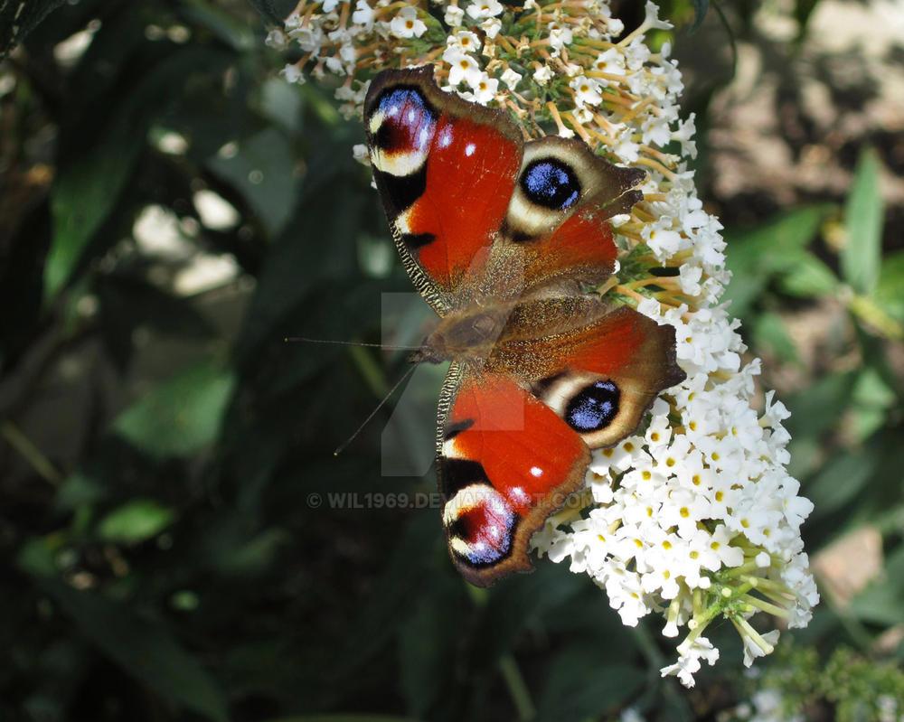 [Image: butterfly2_by_wil1969-dajujxs.jpg]